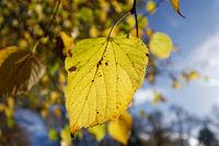 gelbes Herbstblatt am Baum vor blauem Himmel