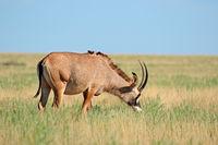 A rare roan antelope (Hippotragus equinus) in open grassland