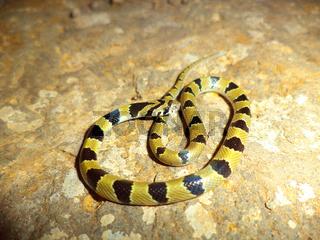 Closeup of Common Kukri snake, Oligodon arnensis, Satara, Maharashtra, India