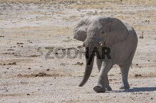 Elefant im Etosha Nationalpark, Namibia