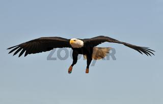 Weisskopfseeadler fliegt