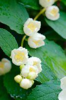 Flowers of jasmin after rain