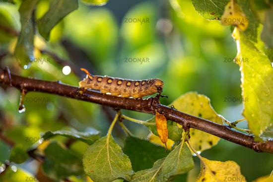 Caterpillar Bedstraw Hawk Moth crawls on a branch during the rain. Caterpillar (Hyles gallii) the bedstraw hawk-moth or galium sphinx, is a moth of the family Sphingidae.