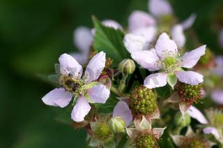 Rubus fruticosus Chester Thornless, Dornlose Brombeere, Blackberry