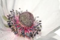 weisse Garten-Anemone, white poppy anemone, (Anemone coronaria)