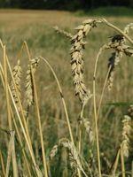 Weizenähre