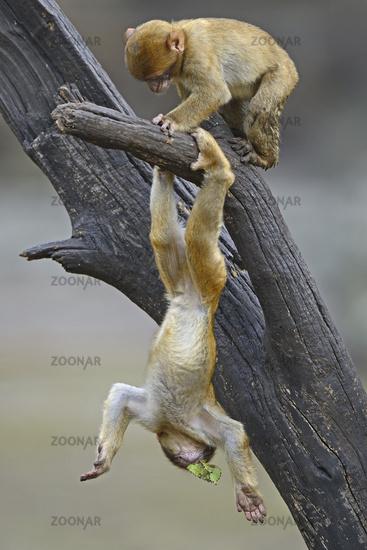 Berberaffe, Magot (Macaca sylvanus), Jungtier beim spielen, Nord