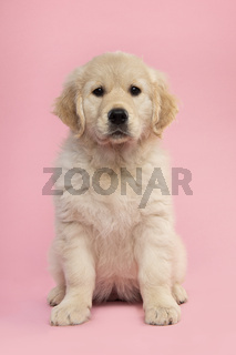 Cute sitting  golden retriever puppy looking at the camera on a pink background