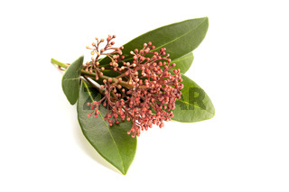 Skimmia japonica twig isolated on white background