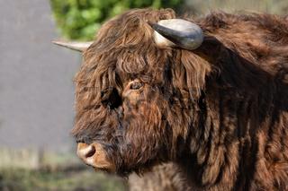Highlander Bulle