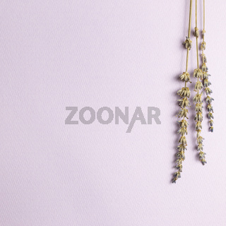 Dry lavender flowers on purple background. top view, copy space