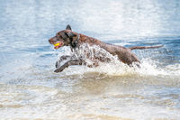 Detailed German Shorthaired Pointer jumps into the water with lots of splashing from the blue water. Water splashes from the tail, the dog has a tennis ball in its mouth