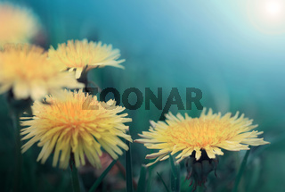 Yellow dandelion flowers isolated on blue background.