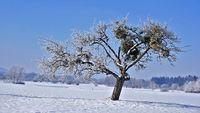 Apfelbaum mit Misteln in Raureiflandschaft