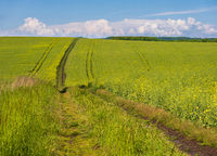 Spring view with rapeseed yellow blooming fields and dirty road, blue sky with clouds. Natural seasonal, good weather, climate, eco, farming, countryside beauty concept.
