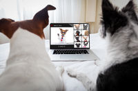 dog having an online meeting video conference