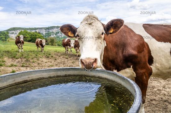Milchvieh auf der Weide, Savoie