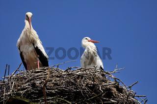 Stork pair / Storchenpaar