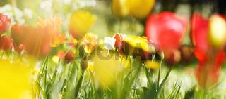 Tulpenblüten auf sonniger Naturwiese