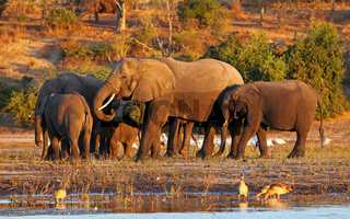 Elefanten im Abendlicht am Ufer des Chobe, Botswana; Loxodonta africana; elephants at riverside of Chobe, Botsuana