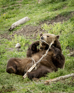 Playful grizzly with stick.