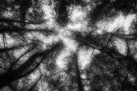infrared bottom-up view of many coniferous trees
