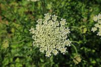 210723-19 Blüte der Möhre, Wild Carrot, Daucus carota .jpg