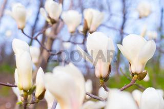 magnolia bloosom tree flowers spring