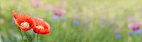 Blumenwiese Mohnblumen