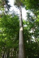 20211002_Picea abies, Rotfichte, Norway spruce, Hochstamm, high stem.jpg