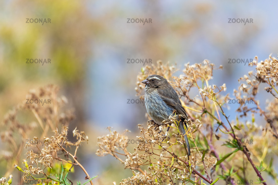 bird brown-rumped seedeater, Africa. Ethiopia wildlife