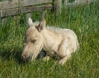 Sleeping newborn foal lying in grass
