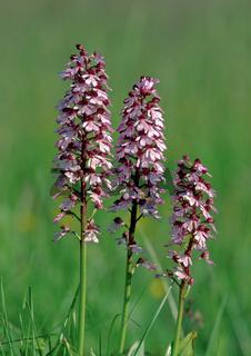 Purpur-Knabenktaut, Orchis purpurea