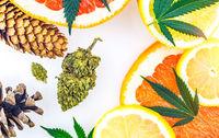 Cannabis terpenes concept with Marijuana bud lemons grapefruit leafs and pine cones