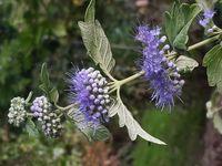Bartblume ( Hybride Caryopteris ×clandonensis)