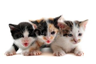 three kitten