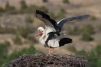 White storks, Ciconia ciconia, mating in the nest.