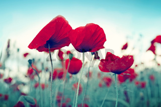 Red poppy flowers on blue sky background.