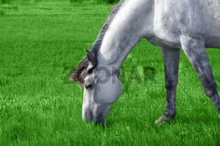 white arabian horse in the meadow