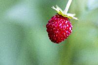 einzelne Erdbeere auf einer Pflanze