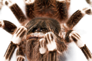 beautiful spider isolated on white background (geniculata)