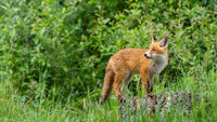 Attentive red fox cub walking on the tree stump in the green forest