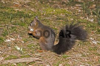 Eichhörnchen / Sciurus vulgaris