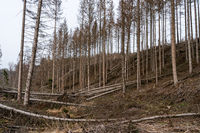 Forest dieback as a result of climate change in the Westerwald, Germany