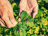 DGardener shows disease of red and black currants, infection with Gallic aphids Anthracnose