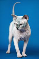Portrait of Canadian Sphynx cat standing full length on blue background