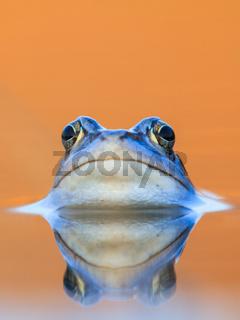Moorfrosch in blauer Balzfärbung mit Spiegelung