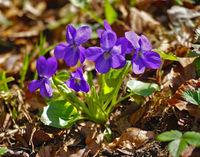 Wald-Veilchen; Viola reichenbachiana; wood violet