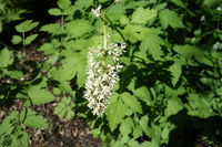 Actaea spicata, Aehriges Christophskraut, baneberry