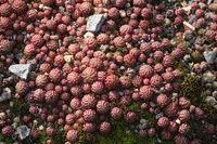 Sempervivum montanum, Berg-Hauswurz, mountain houseleek